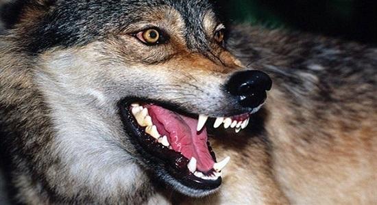 پوستر؛ مراقب حمله گرگ ها باشیم!
