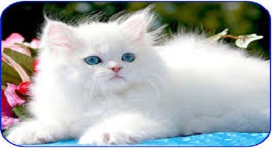 احکام موی گربه